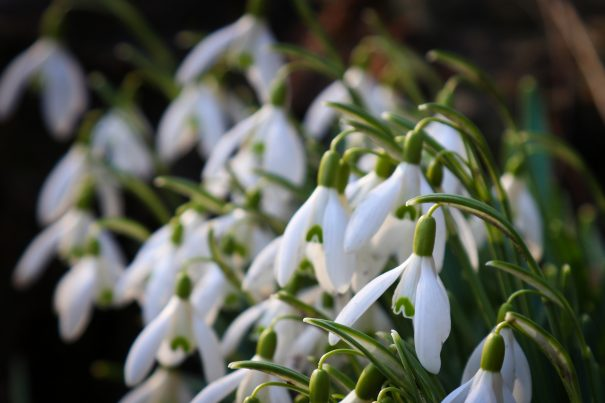 Snowdrop Day (National Garden Scheme)